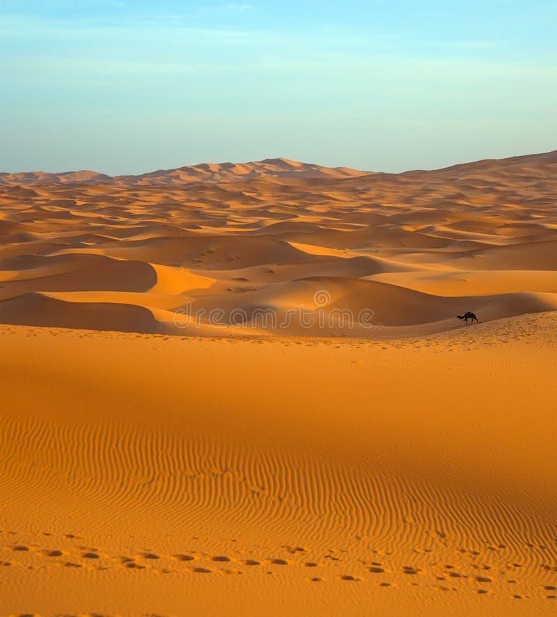 孤独的骆驼在日落的撒哈拉大沙漠 免版税库存照片