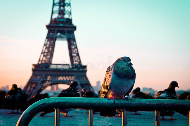 孤独的鸽子 库存图片