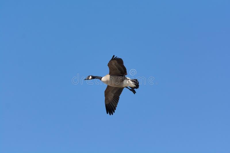 孤立加拿大鹅飞行通过天空蔚蓝 免版税图库摄影