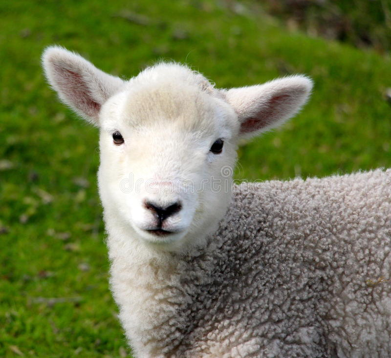 孤立小的羊羔 库存照片