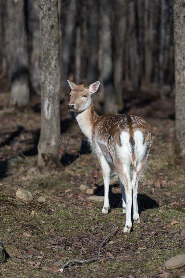 孤立小鹿在森林 免版税库存照片