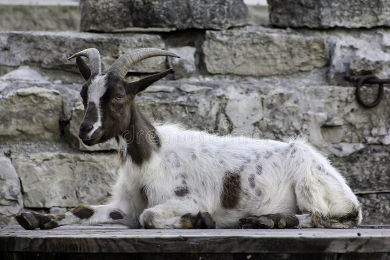 孤立山羊 免版税图库摄影