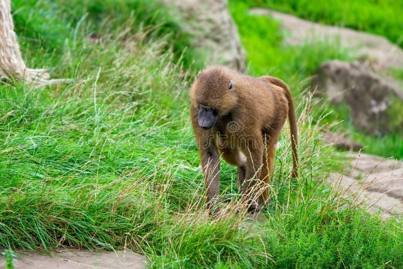 孤立成人几内亚狒狒横跨一个绿色领域走夏天中 库存图片