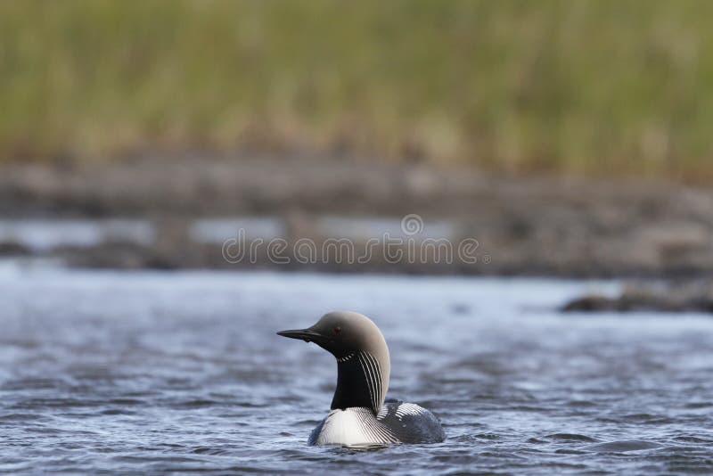 孤立成人和平的懒人或和平的潜水者Gavia pacifica在助长全身羽毛游泳在北极水域中,在亚怀亚特努纳武特附近 库存图片