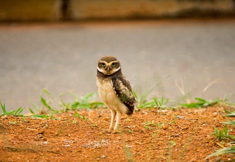 孤立挖洞的猫头鹰 免版税库存图片