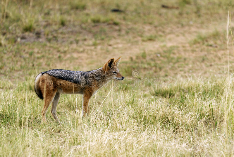 支持黑的狐狼 库存图片