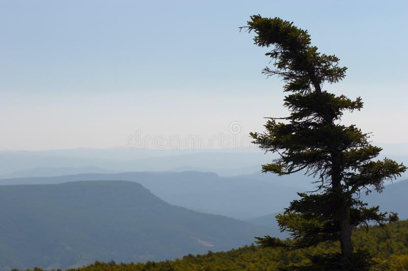 孤立杉木 免版税库存图片