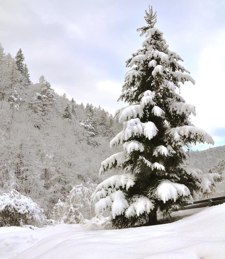 孤立杉树 免版税库存照片