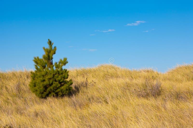 孤立杉树 库存图片