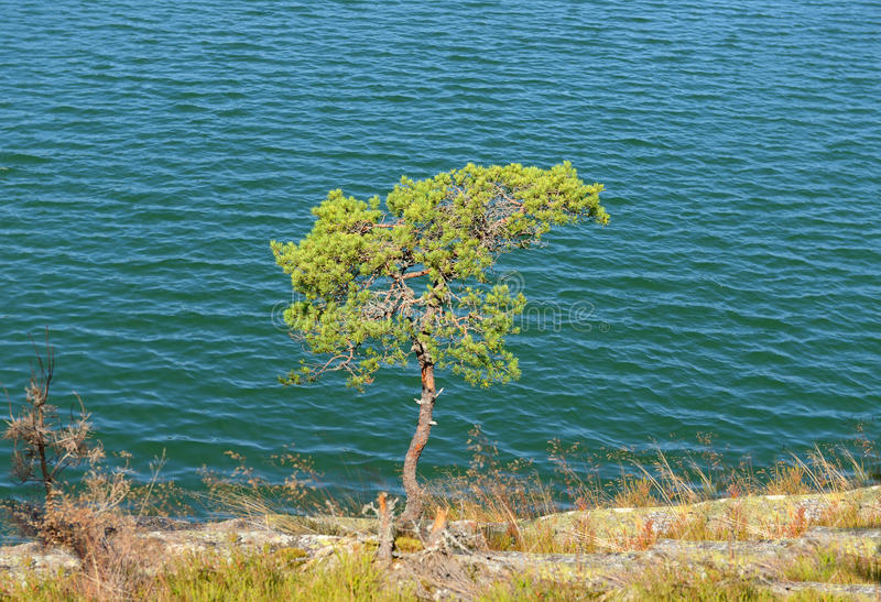 孤立杉树 库存照片