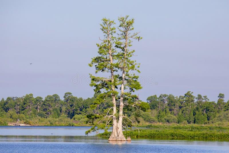孤立柏树在湖 库存图片