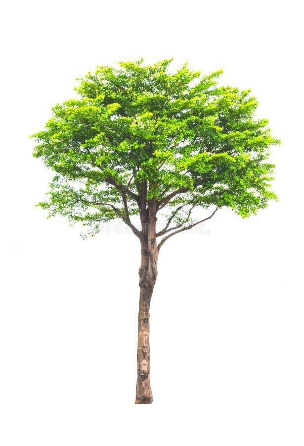 孤立树白色背景 免版税库存图片