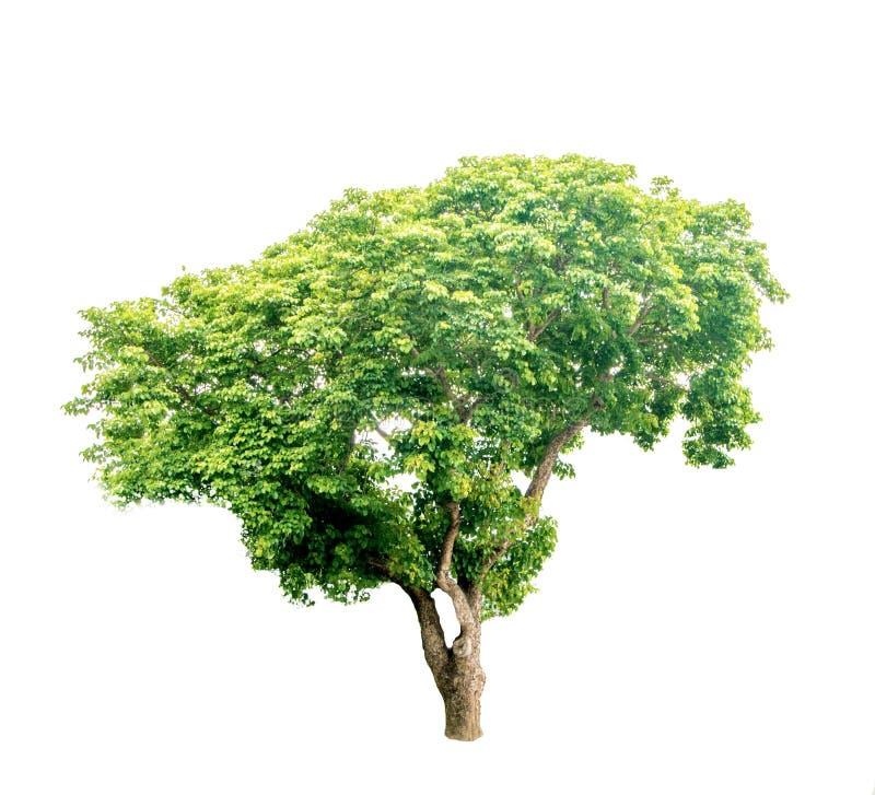 孤立树白色背景 免版税库存照片
