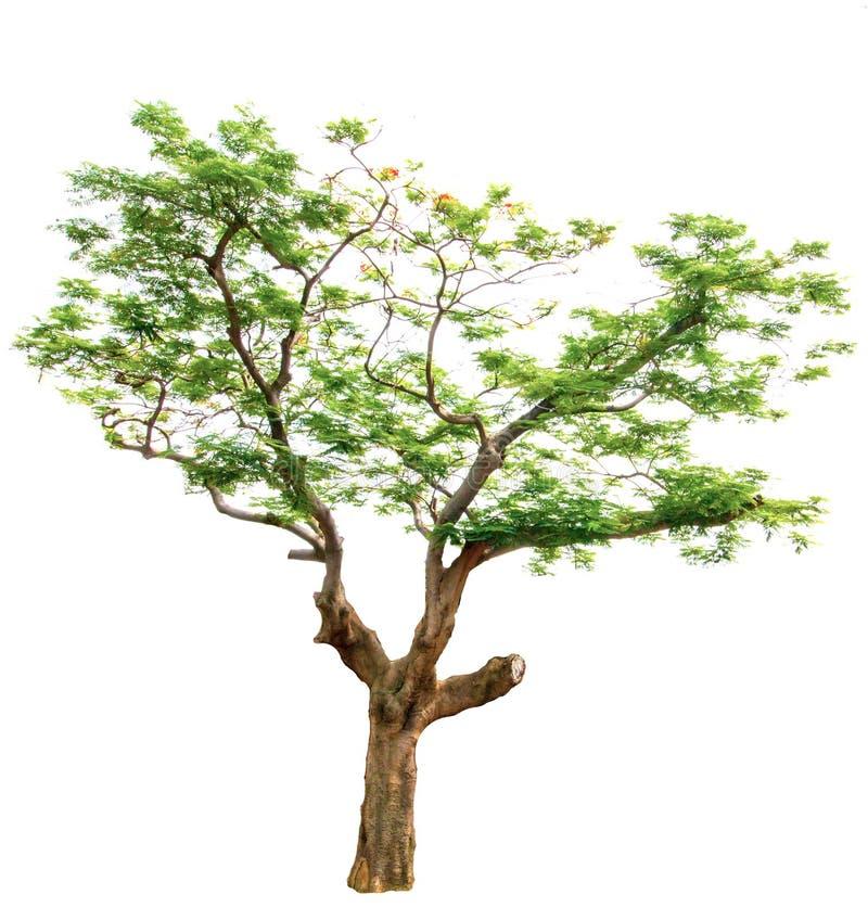 孤立树白色背景 库存照片