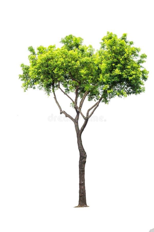 孤立树白色背景 库存图片