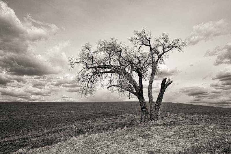 孤立树B&W在palouse的 免版税图库摄影
