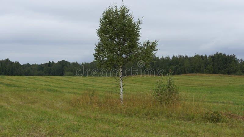 孤立桦树 库存图片