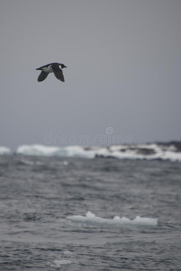 孤立海雀科的鸟在冰山上腾飞在北极 免版税图库摄影