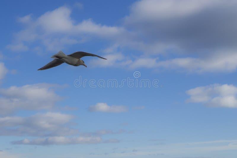 孤立海鸥 免版税库存照片
