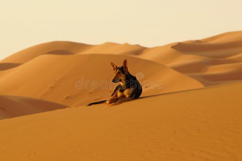 孤立狗在尔格沙漠在摩洛哥 免版税库存图片