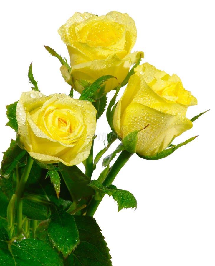 孤立玫瑰三黄色 免版税库存照片