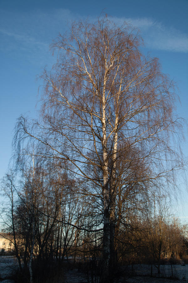 孤立白桦树树 图库摄影
