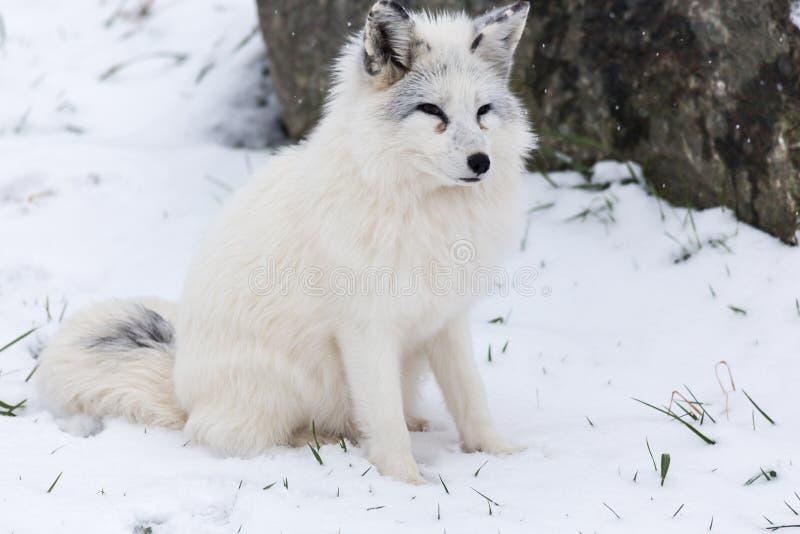 孤立白狐在冬天环境里 库存图片