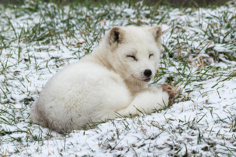 孤立白狐在冬天环境里 图库摄影