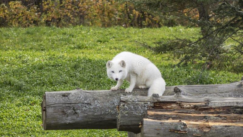 孤立白狐在森林 免版税库存图片