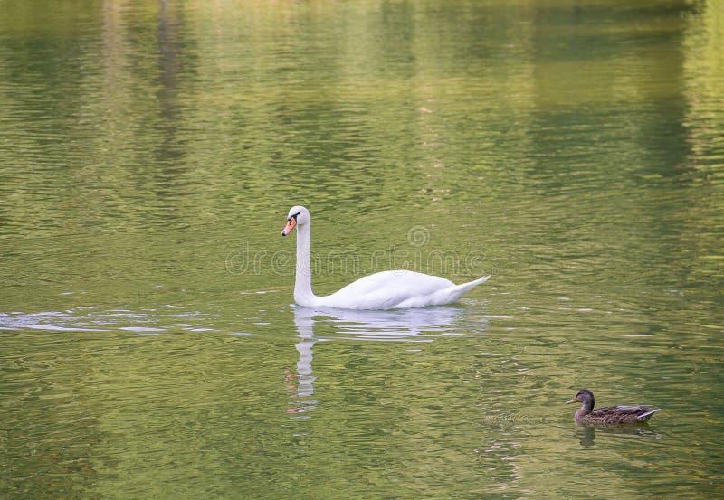 孤立白色天鹅浮游物热衷机警的棕色鸭子池塘水 库存照片