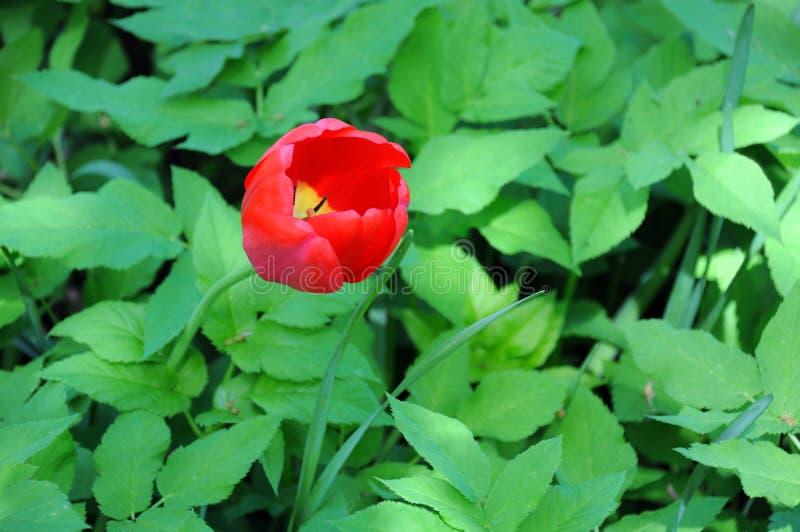 孤立红色郁金香 库存照片