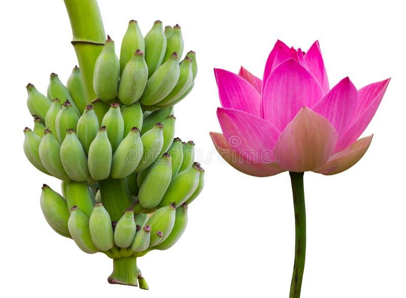 孤立莲花用绿色香蕉 免版税库存图片