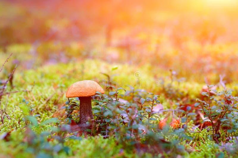孤立蘑菇在阳光下 接近的青苔蘑菇 免版税库存照片