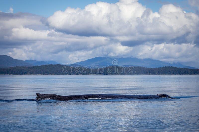 孤立驼背鲸在阿拉斯加 免版税库存照片