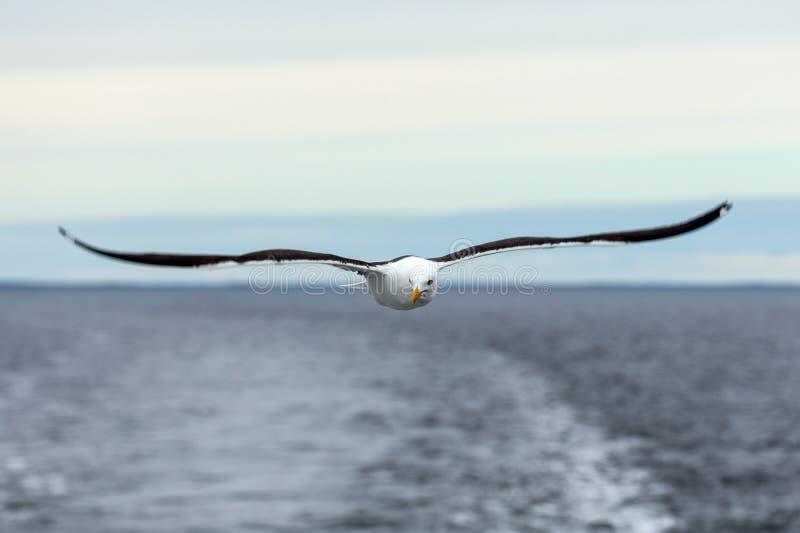 孤立鸥在海上的天际飞行 库存图片