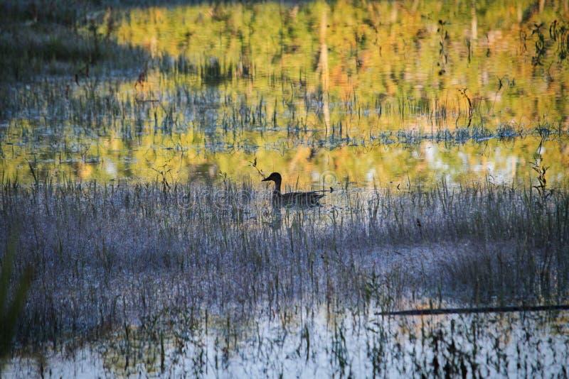 孤立鸭子 免版税图库摄影