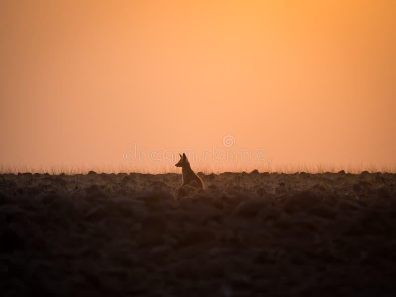 孤立黑色支持调查距离的狐狼在金黄日落, Palmwag让步,纳米比亚,南部非洲期间 库存图片