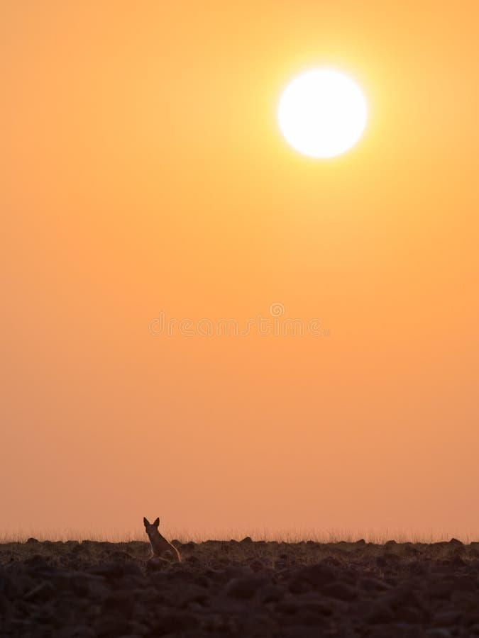 孤立黑色支持调查距离的狐狼在金黄日落, Palmwag让步,纳米比亚,南部非洲期间 库存照片
