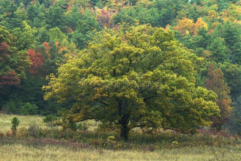 孤立绿色树 图库摄影
