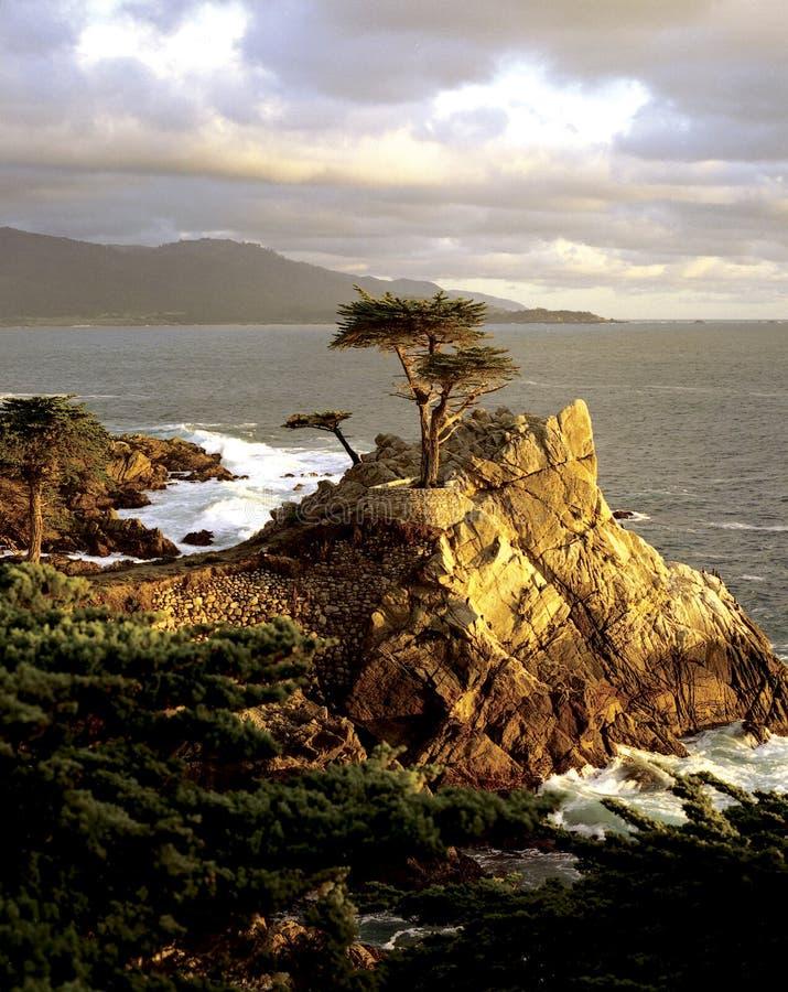 孤立Cypress 免版税库存照片