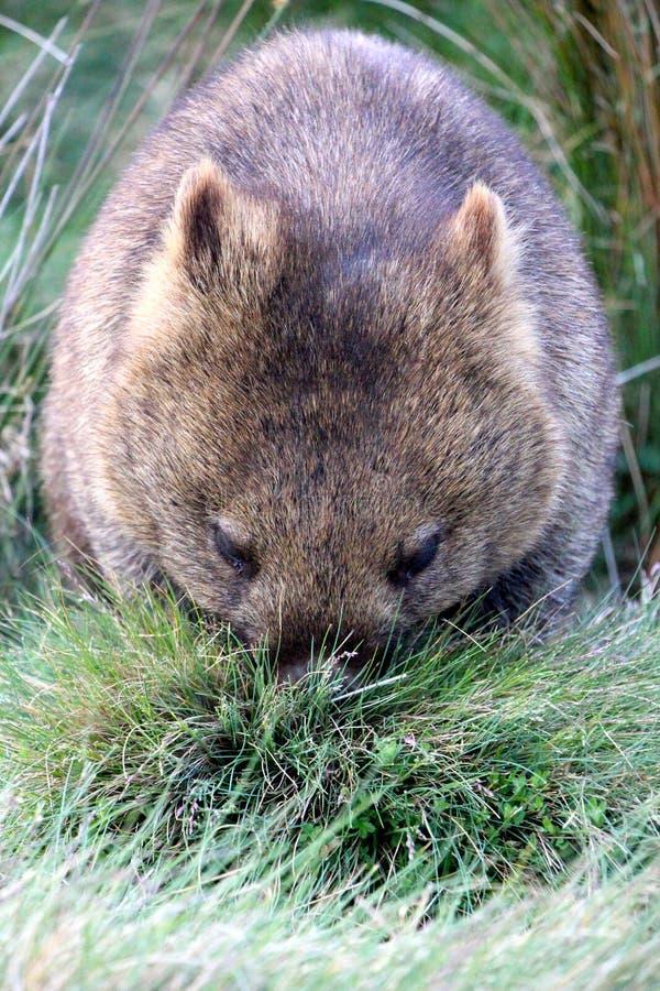 孤立wombat吃晚餐在摇篮山nat ional公园 库存图片