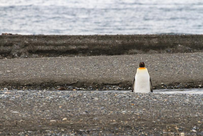 孤零零企鹅国王, Aptenodytes patagonicus,在Parque Pinguino Rey,火地群岛巴塔哥尼亚的海滩 库存图片