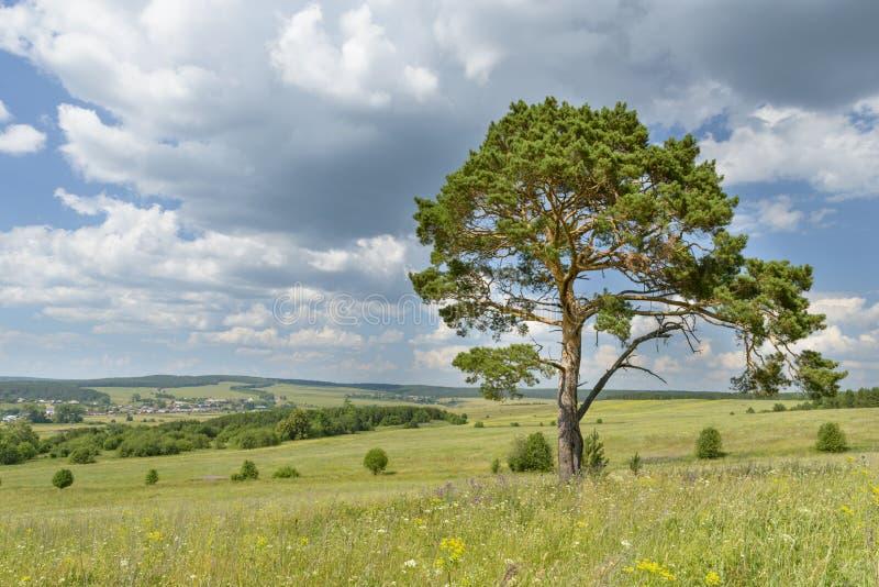 孤零零杉树单独站立反对与森林的蓝天 免版税库存照片