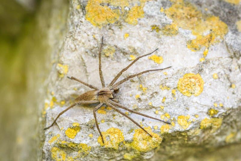 孤零零流浪汉蜘蛛- Tegenaria agrestis 免版税库存照片