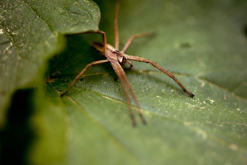 孤零零流浪汉蜘蛛- Tegenaria agrestis 库存图片