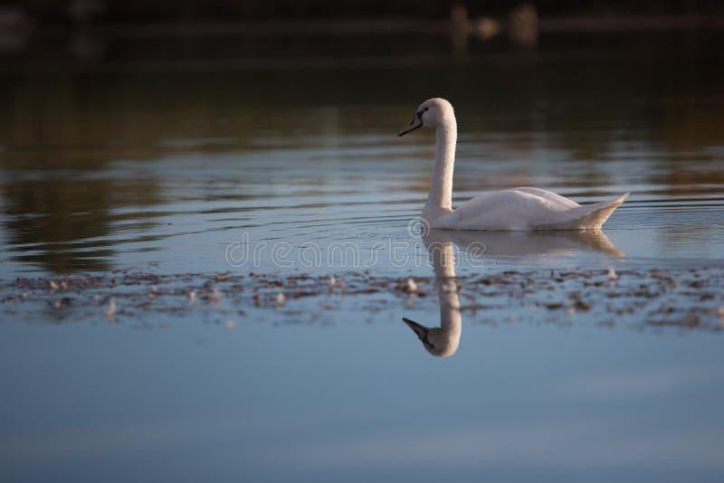 孤零零疣鼻天鹅在池塘 免版税库存图片