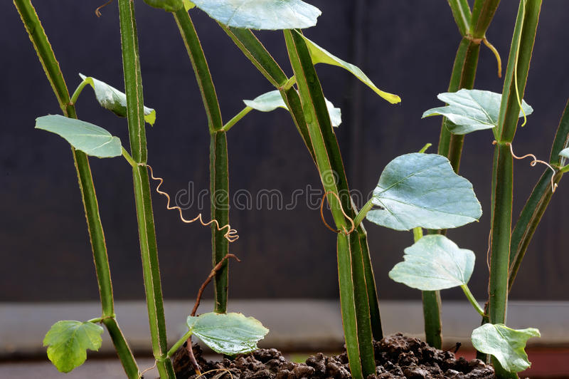医学植物,接骨师 免版税库存照片