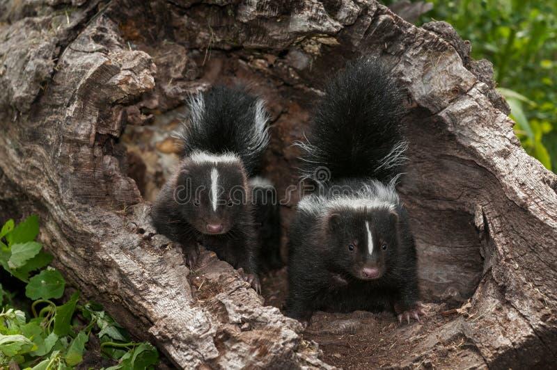 婴孩与尾巴的臭鼬(恶臭恶臭)成套工具 免版税库存照片