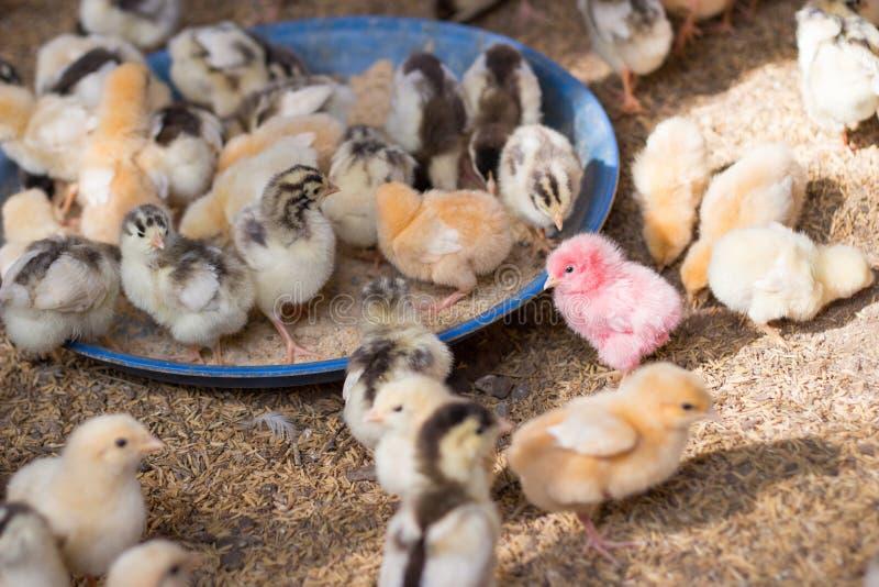 婴孩出售的小鸡农场 库存图片