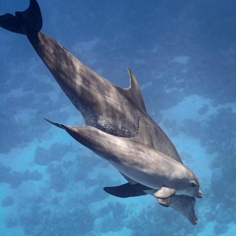 (婴孩和母亲)游泳在蓝色tro的水的中两只海豚 免版税库存图片